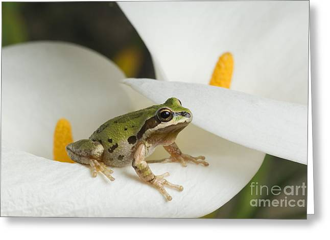 Pacific Treefrog On Calla Lily Greeting Card