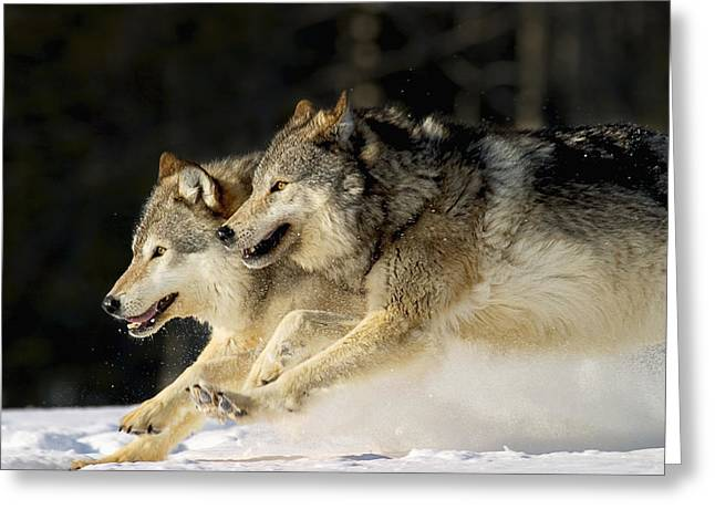 Pack Of Grey Wolves Running Through Greeting Card by John Hyde