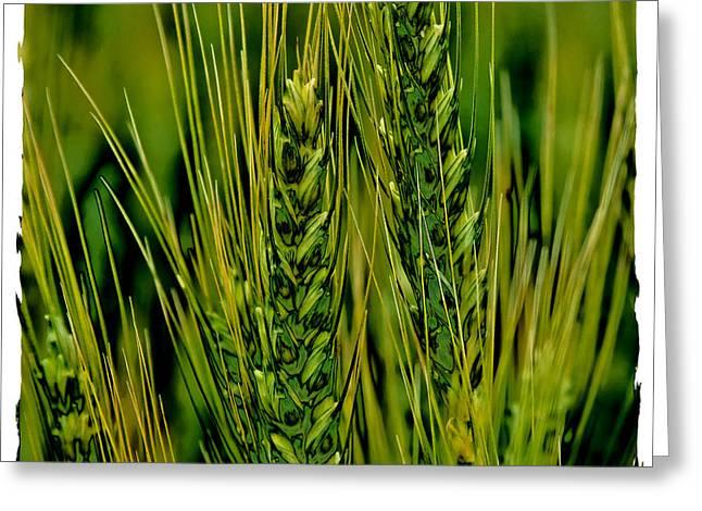 Palouse Wheat Iv Greeting Card