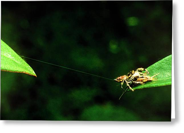 Panamanian Jumping Spider Eris Aurantia Greeting Card by Martin Dohrn/science Photo Library