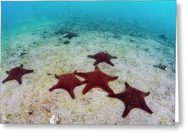 Panamic Cushion Star (pentaceraster Greeting Card by Pete Oxford