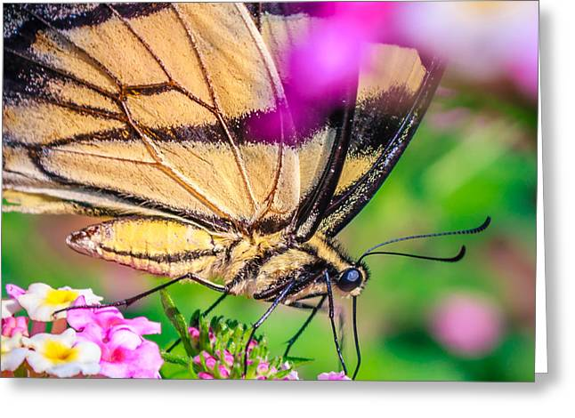 Greeting Card featuring the photograph Papilio Glaucus by Rob Sellers