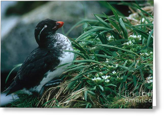 Parakeet Auklet Greeting Card