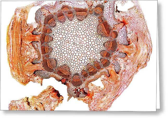 Parasitic Plant Stem Greeting Card by Dr Keith Wheeler