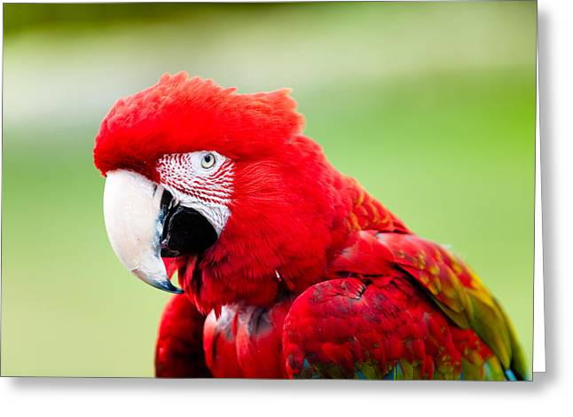 Parrot Greeting Card by Sebastian Musial