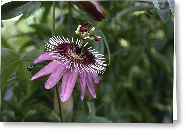 Passion Flower (passiflora Caerulea) Greeting Card by Science Photo Library