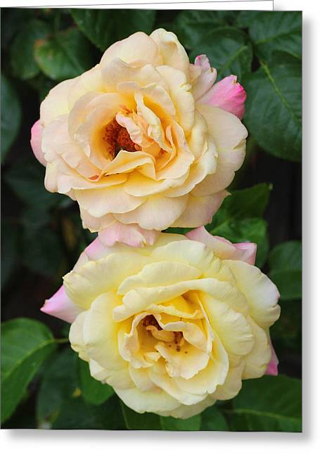Peace Roses Greeting Card
