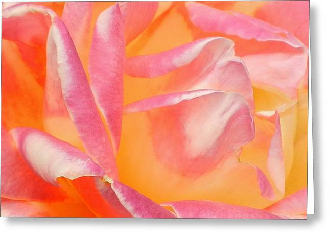 Peachy Pink Rose Greeting Card by Virginia Forbes