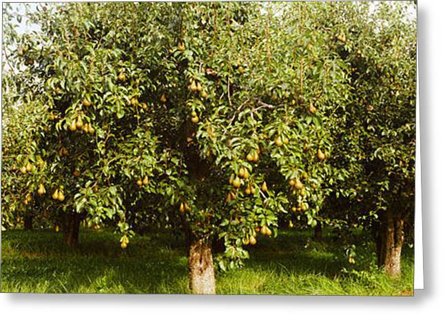 Pear Trees In An Orchard, Hood River Greeting Card by Panoramic Images