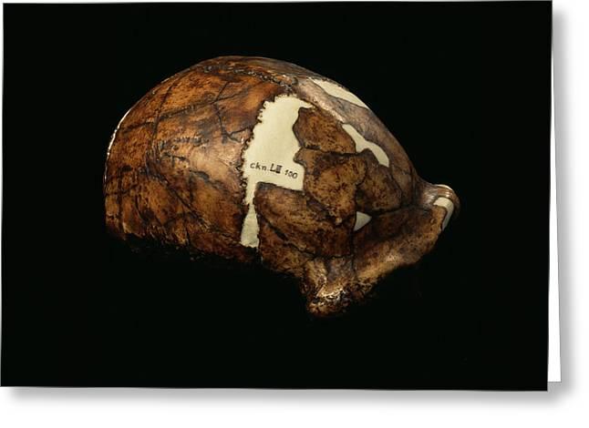 Peking Man Skull Greeting Card