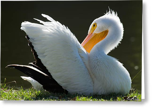 Pelican Preening Greeting Card