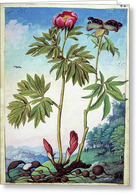 Peony (paeonia Mascula) Greeting Card by British Library