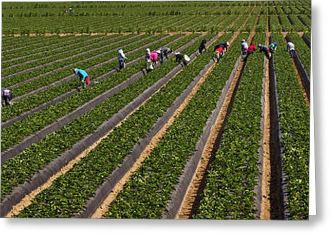 People Picking Strawberries In A Field Greeting Card