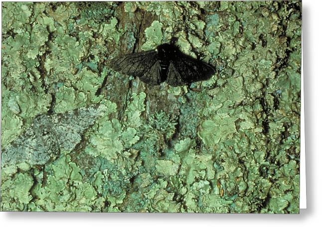 Peppered Moths Greeting Card