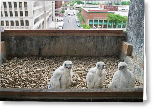 Peregrine Falcon Chick Greeting Card by Jim West