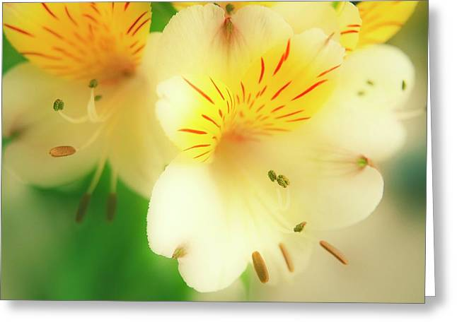 Peruvian Lily (alstroemeria Haemantha) Greeting Card by Maria Mosolova/science Photo Library