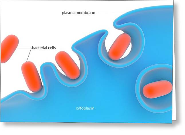 Phagocytosis Greeting Card by Science Photo Library