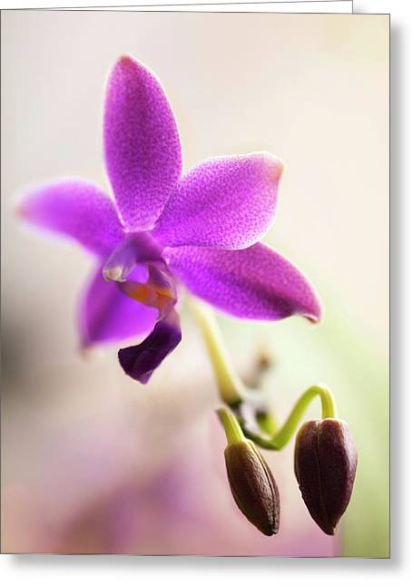 Phalaenopsis Orchid Flower Greeting Card