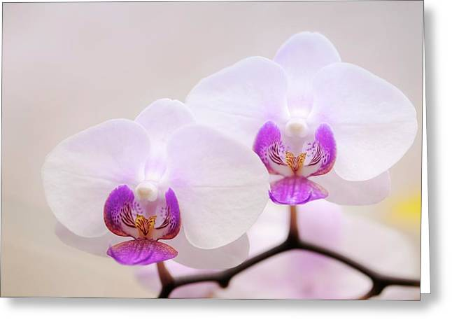 Phalaenopsis Orchid Flowers Greeting Card by Maria Mosolova