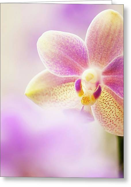 Phalaenopsis Tzu Chiang Balm 'ot0076' Orchid Greeting Card by Maria Mosolova/science Photo Library