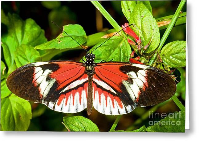 Piano Key Butterfly Greeting Card by Millard H. Sharp