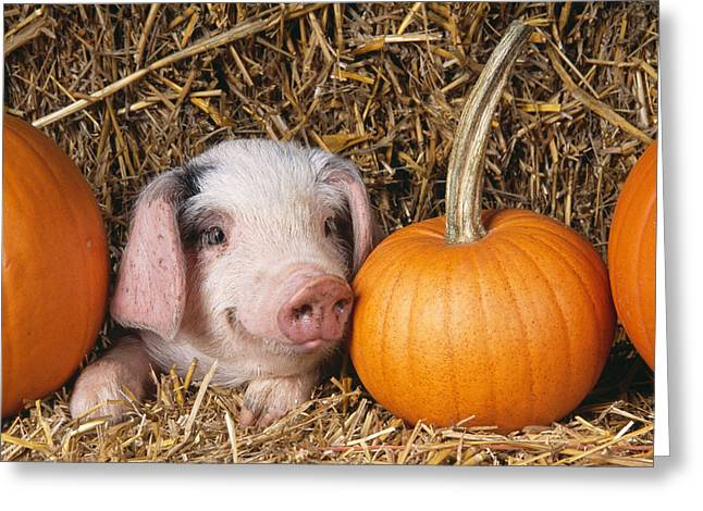 Piglet With Pumpkins Greeting Card by John Daniels