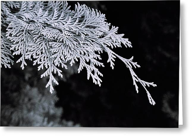 Pine Needles Greeting Card by Christopher Lugenbeal
