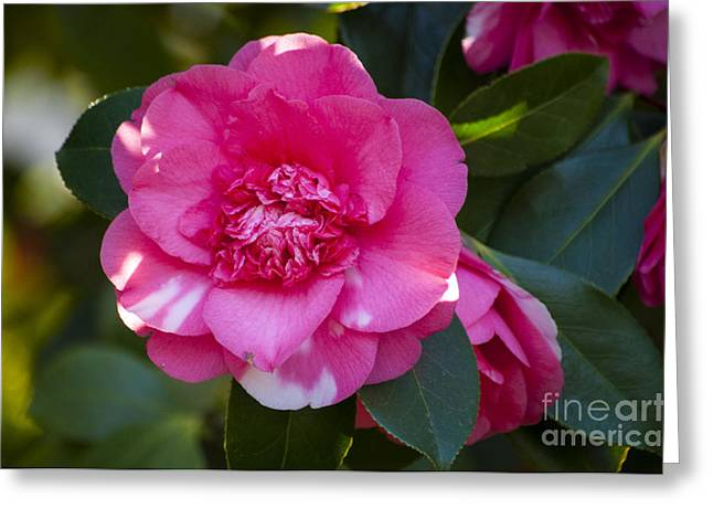 Pink And White Camellia Greeting Card by Mandy Judson