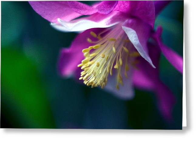 Pink And White Columbine Flower Greeting Card by RM Vera