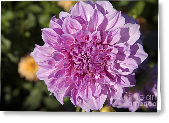 Pink Dahlia Greeting Card by Peter French