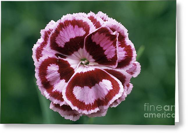 Pink Dianthus Becky Robinson Greeting Card
