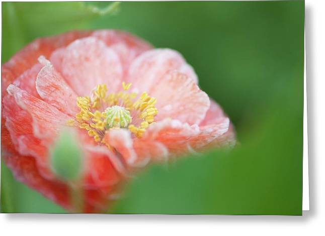 Pink Double-ruffled Shirley Poppy Greeting Card