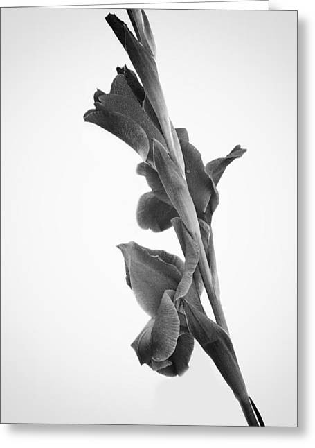 Pink Iris In Monochrome Greeting Card