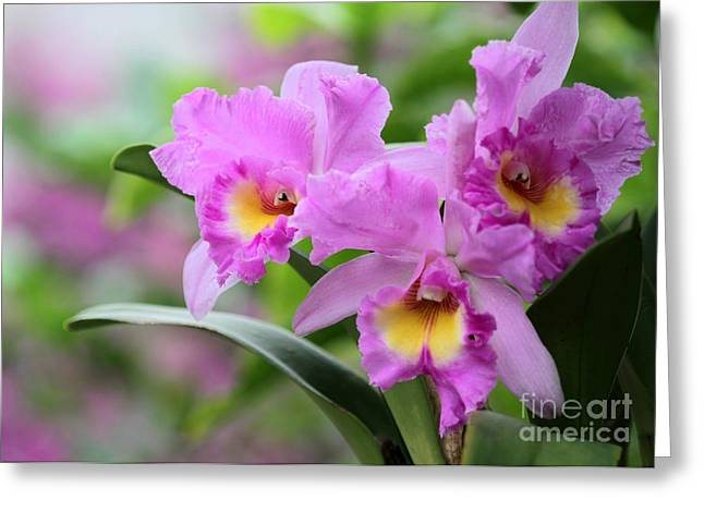Pink Orchids Greeting Card by Sabrina L Ryan