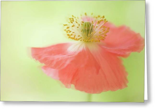 Pink Shirley Poppy Greeting Card by Maria Mosolova