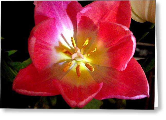 Pink Tulip Greeting Card by Virginia Forbes