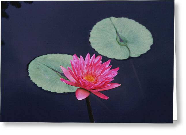 Pink Water Lily Two Pads Greeting Card by Tom Wurl