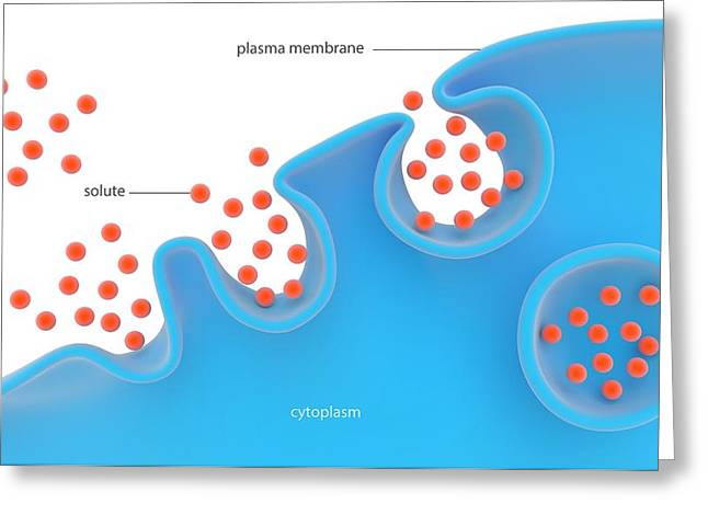 Pinocytosis Greeting Card by Science Photo Library