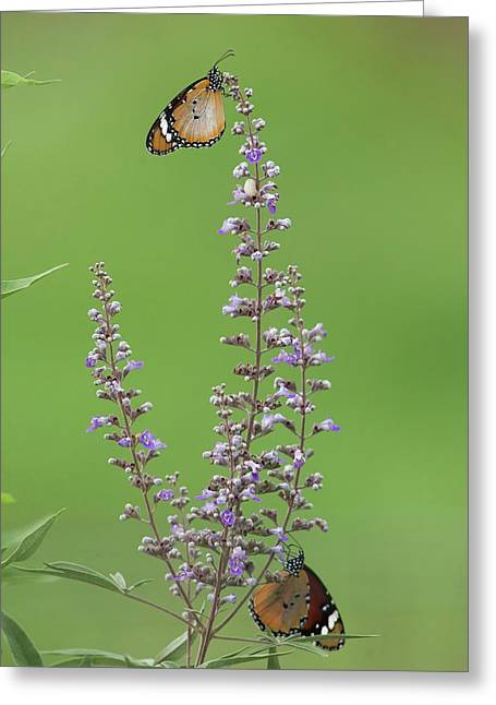 Plain Tiger Butterfly Greeting Card by Photostock-israel