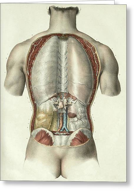 Pleura And Peritoneum Greeting Card