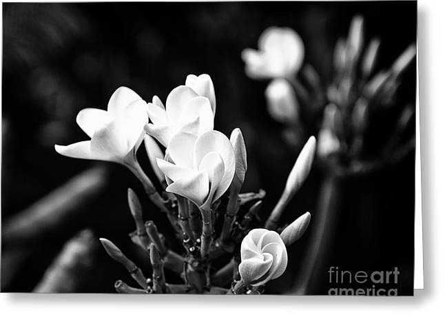 Plumeria Greeting Card by Karl Voss
