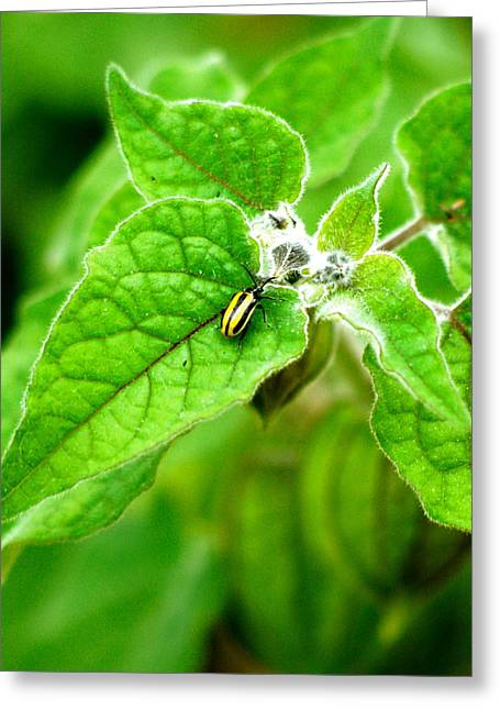 Poha Berry Beetle Greeting Card by Lehua Pekelo-Stearns
