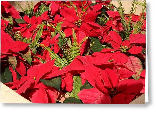 Greeting Card featuring the photograph Poinsettia by Alohi Fujimoto