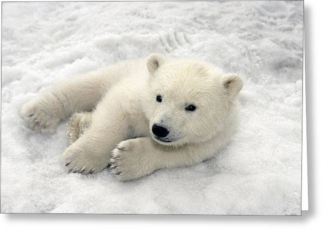 Polar Bear Cub Playing In Snow Alaska Greeting Card by Mark Newman