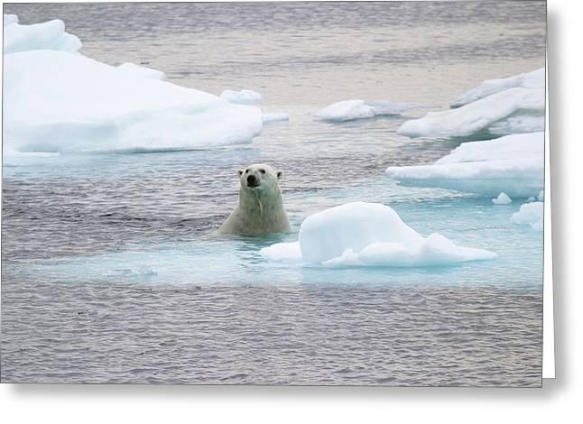 Polar Bear Greeting Card by John Devries/science Photo Library