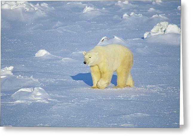 Polar Bear (ursus Maritimus Greeting Card by Richard and Susan Day