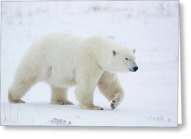 Polar Bear Ursus Maritimus Walking Greeting Card by Panoramic Images