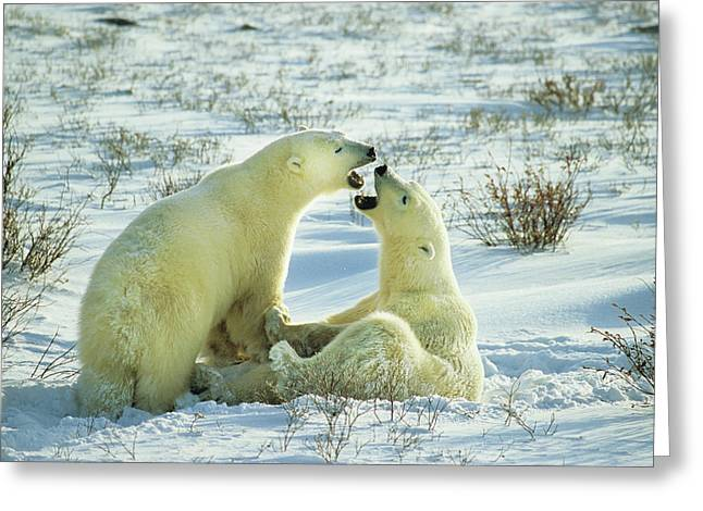 Polar Bears (ursus Maritimus Greeting Card
