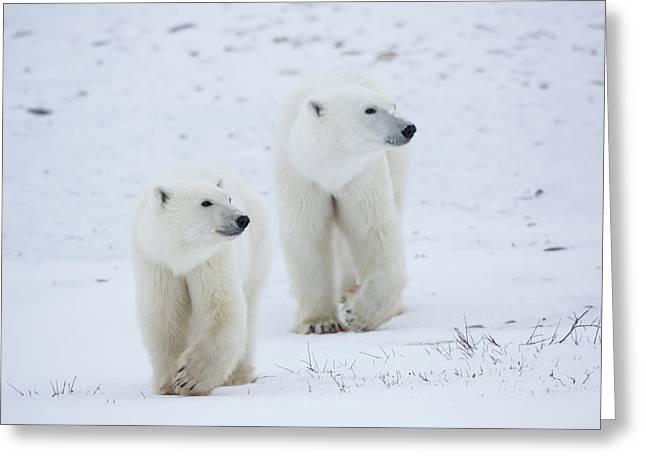 Polar Bears Ursus Maritimus Walking Greeting Card by Panoramic Images