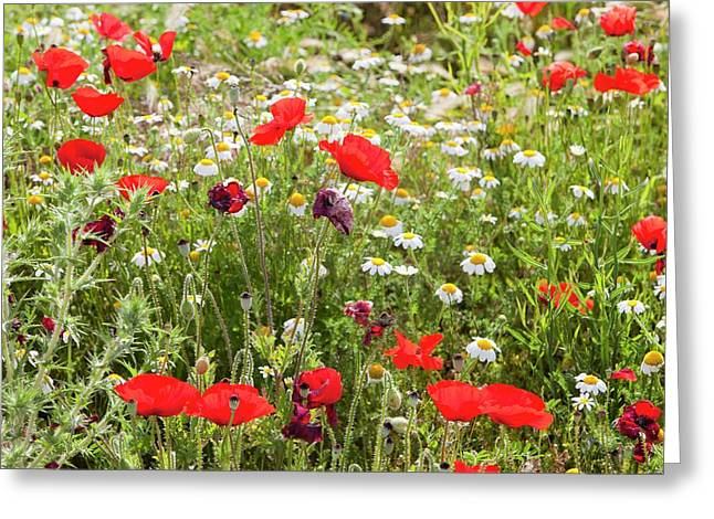 Poppies And Other Wild Flowers Greeting Card by Ashley Cooper